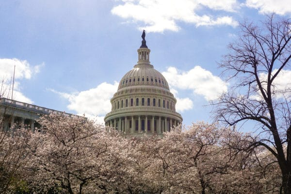 Capital cherry blossoms