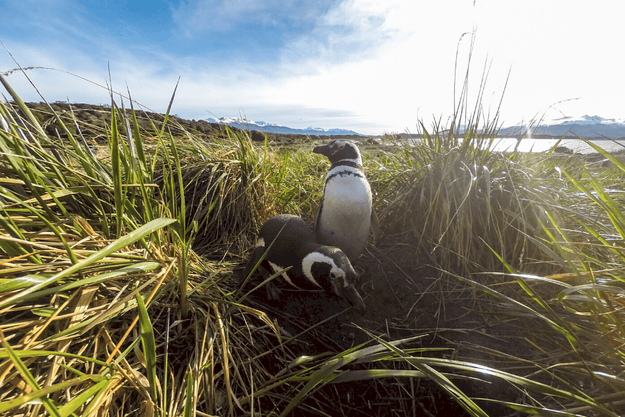 South America Penguins